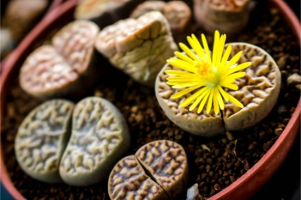 Lithops Leaves