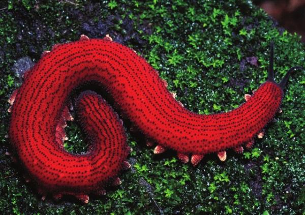 The Velvet Worm
