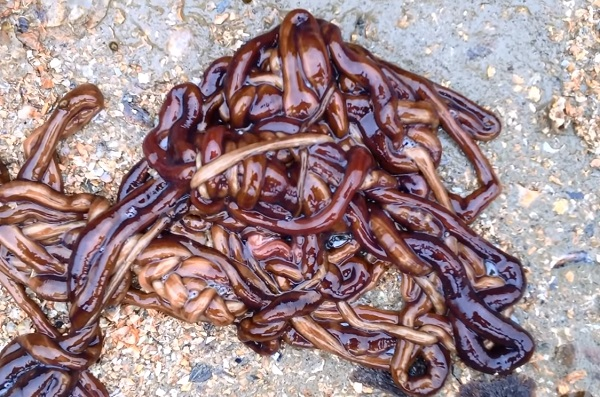 The Bootlace Worm
