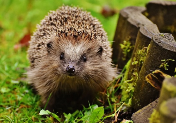 Did you know you can have a HedgeHog as a pet?