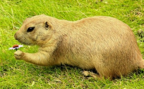 Ten Tips To Help you Get Rid of Pocket Gophers in California