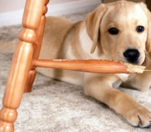 Top 10 Ways to Stop Destructive Puppy Chewing