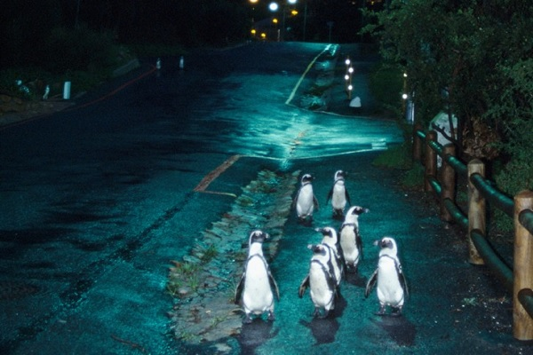 Penguins in The Streets of Cape Town