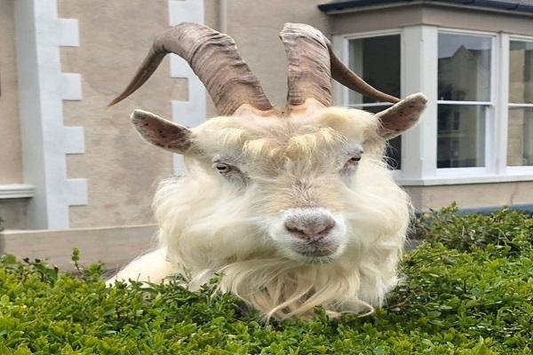 Wild Goats Take Over Llandudno, Wales