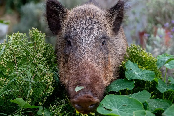 Wild Boar Getting Bold Enough to Enter People's Homes in Israel