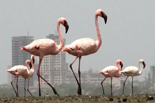 Increased Flamingo Numbers in Mumbai