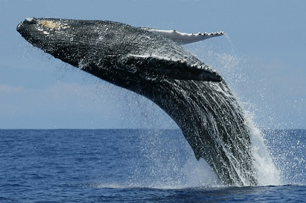 Ten Amazing and Interesting Facts About Blue Whales