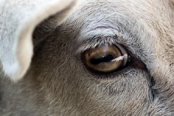 Pickled Sheep's Eye