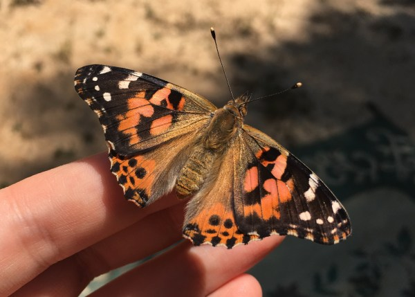 Insect Lore Butterfly