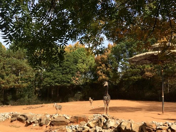 Zoo Atlanta Giraffe