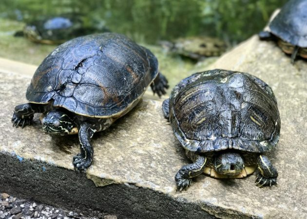 Rescue Turtles