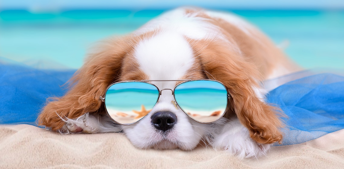 dog in sunglasses on the beach