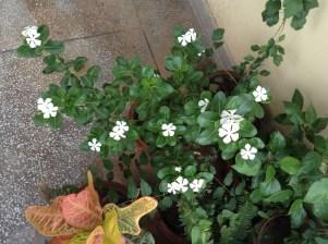 My white Sadabahar