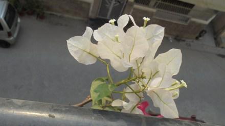 My white Bougainvillea