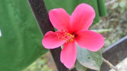 My miniature Hibiscus