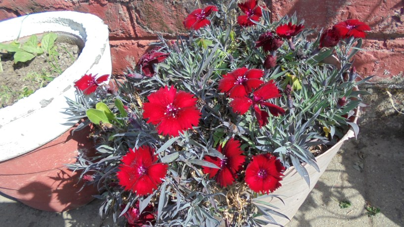 Red Dianthus flowers in Dehradun, India, Uttarakhand