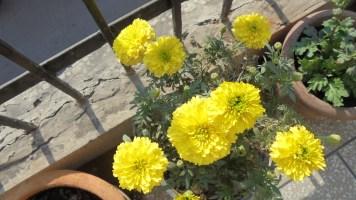 Lemon Marigold