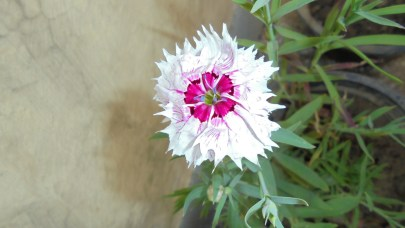 The first Dianthus bloom after months of waiting!