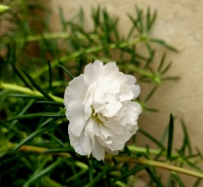 White Portulaca from my plant