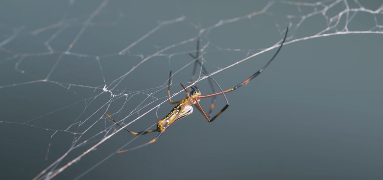 Meet The Scientists That Are Harnessing The Power Of Spiderwebs image of spiderwebs