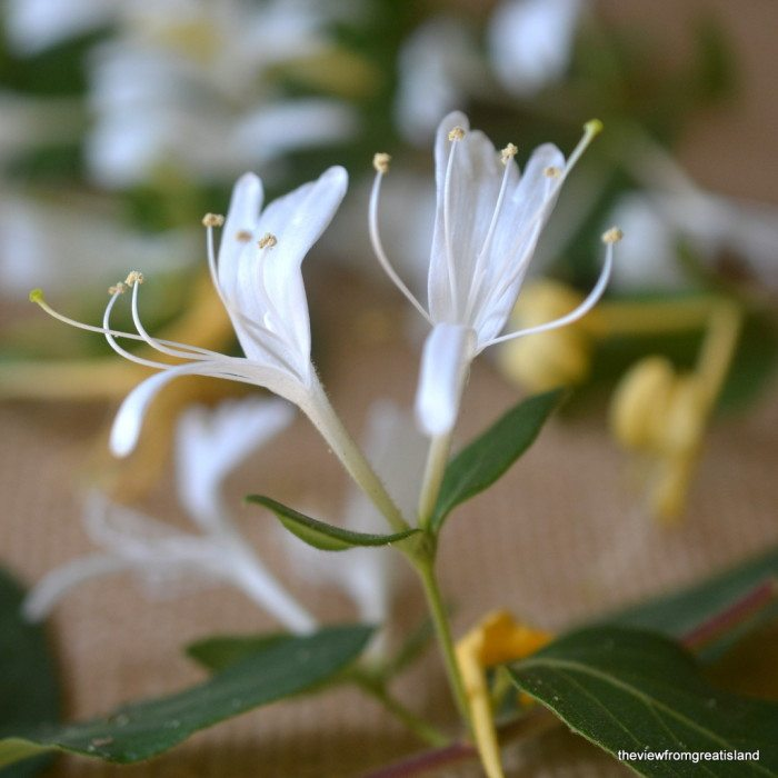 Close up photo of white honeysuckle blossoms.