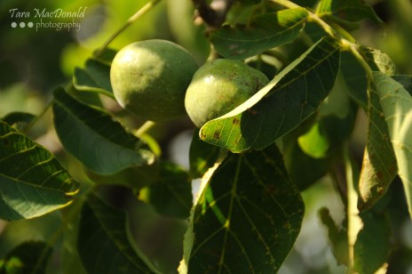 Green Walnuts Ready to be Harvested