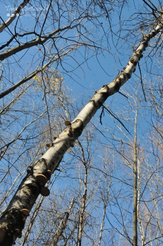Birch Polypore Ready to Harvest