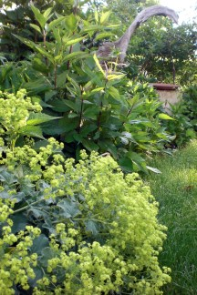 Lady's Mantle edging is becoming more emphasized in 2012. Its wonderful ruffled leaves catch drops of morning dew.