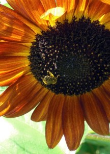 Sunflowers are also a staple in the Potager and are left standing through the winter to feed birds.