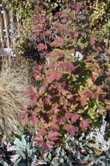 A young Cranberry Viburnum in its fall colors, 2012.