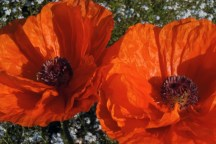 """Poppies """"pop"""" in the spring of 2011. These bright blooms are so much more appreciated than a strip of muddy lawn."""