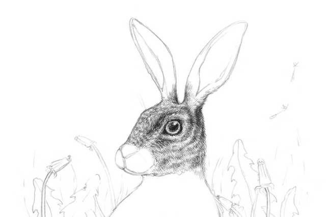 Drawing in the fur of the rabbit with hatching