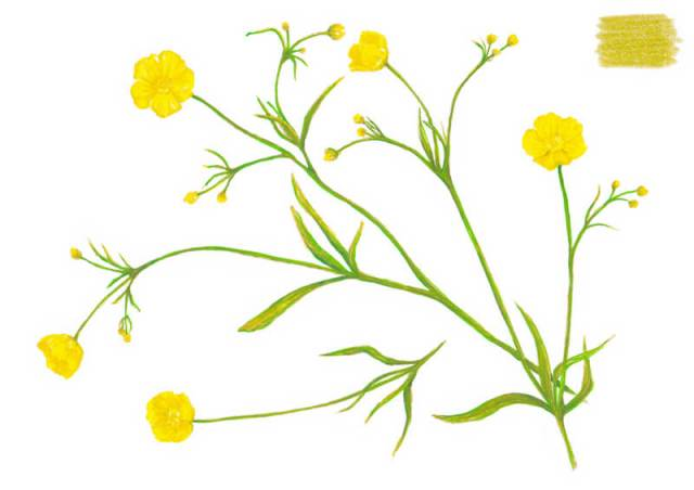 Adding green to the stems in the drawing of the flower