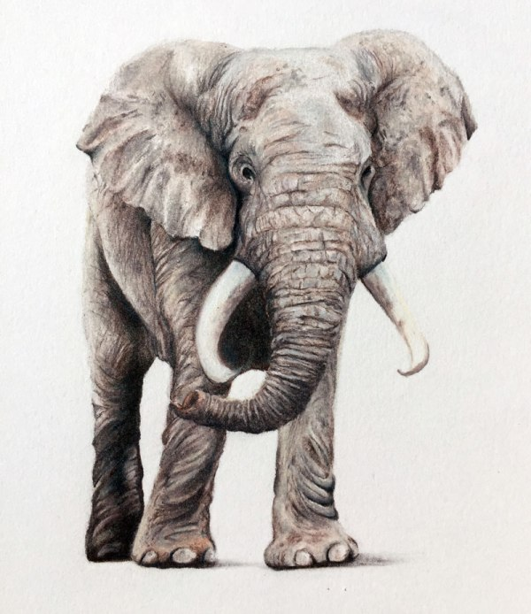 Draw Elephant With Colored Pencils