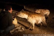 Tom feeding the hyena.
