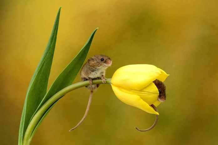 Mice in Tulips