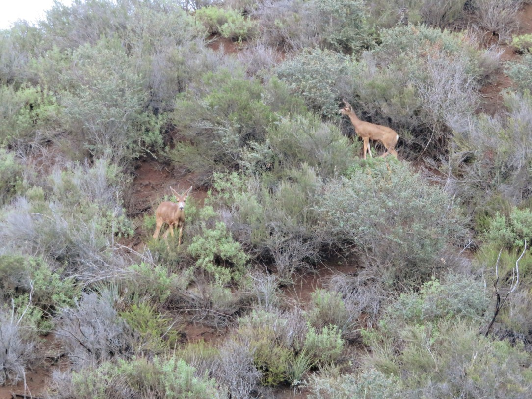 Deer at Malibu Canyon State Park