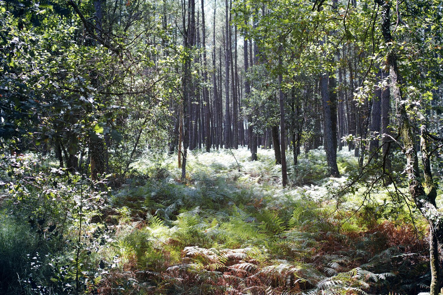 Panorama  Landes forest near Castets France  The Voyageur