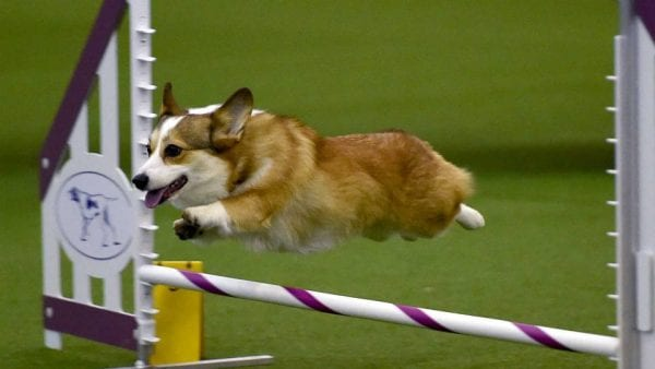 How to Watch Westminster Dog Show Live Online