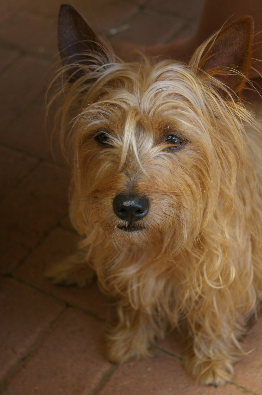 The new fluff -- apparently a Yorkie cross who-knows-what