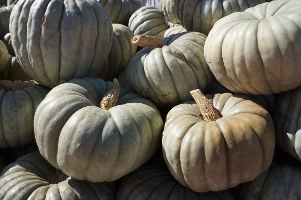 photograph of blue pumpkins