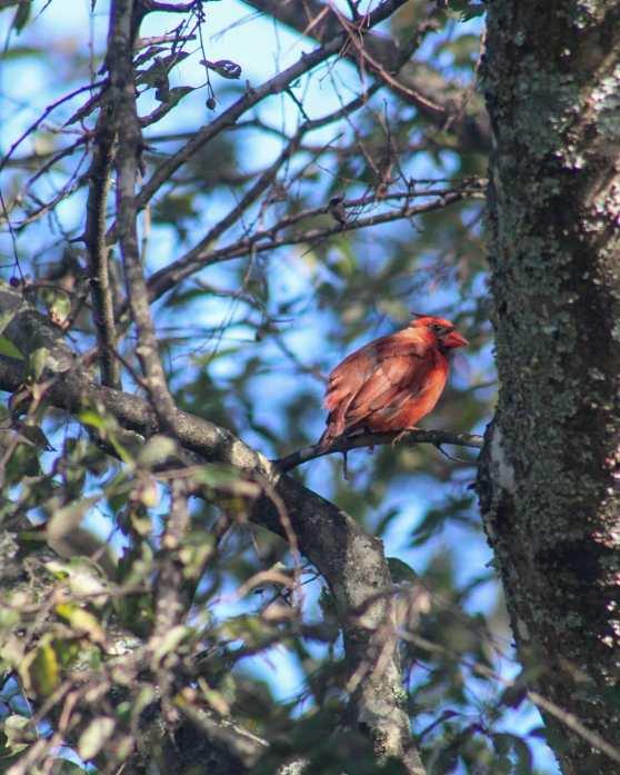 cardinal bird watching