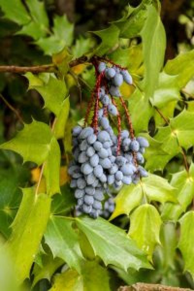 berries leatherleaf mahonia anna ruby falls helen georgia unicoi state park