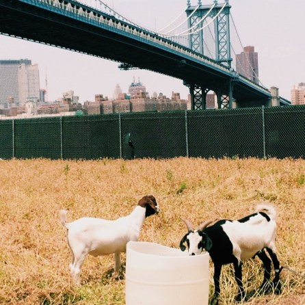 Goats at John Street Pasture in Dumbo