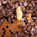 honeybee queen cell