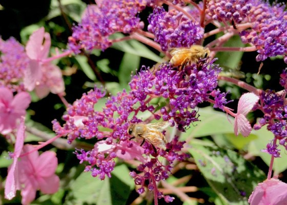 A New Zealand Honey Bee