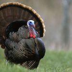 A turkey