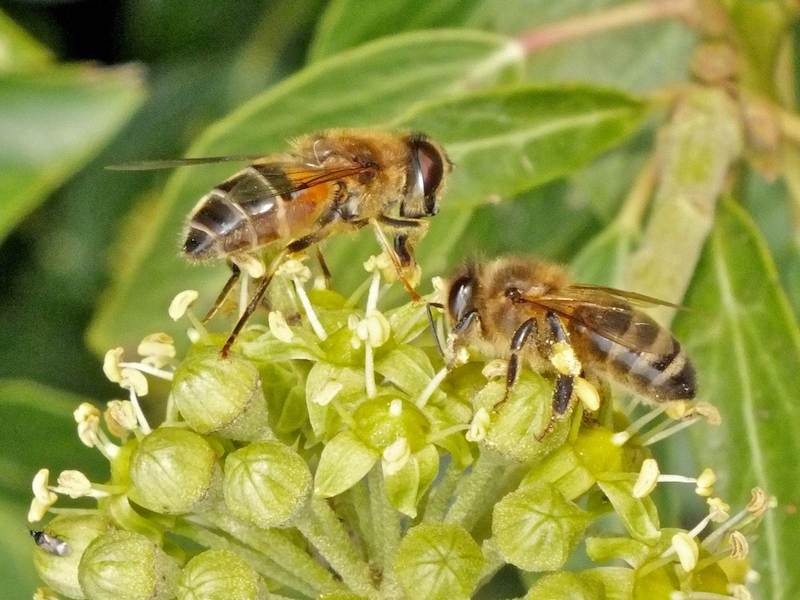 Bees on Ivy