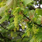 Sycamore (Acer) in flower