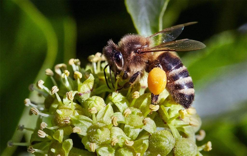Honeybee collecting ivy pollen